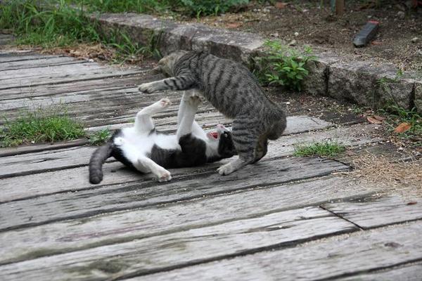 子ネコたち。その6 猫先輩 ハチワレ子ネコ