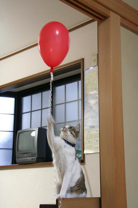 風船大好き。シマ