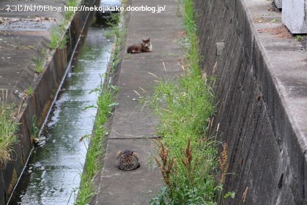 2016052911猫が川を越える。2