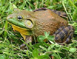 250px-North-American-bullfrog1us牛ガエル
