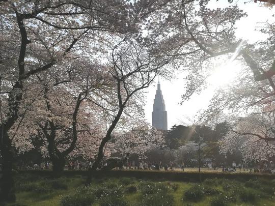 新宿御苑の桜6