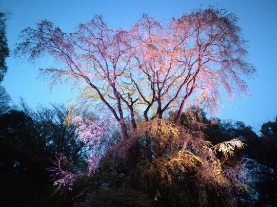 六義園第二のしだれ桜7