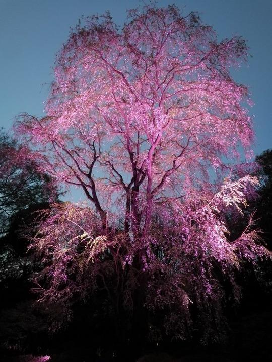 六義園第二のしだれ桜2