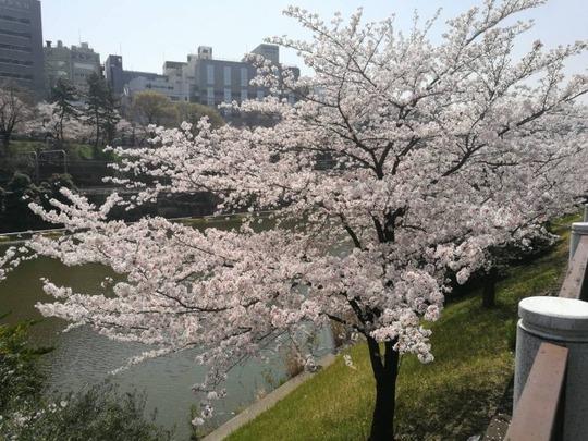市ヶ谷駅~外堀の桜2