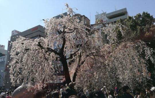 上野公園 しだれ桜(裏)