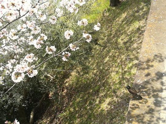 市ヶ谷駅~外堀の桜と鳥