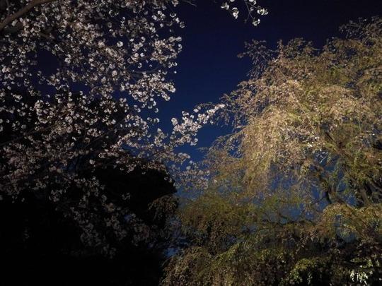 六義園 2つの桜