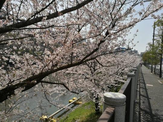 市ヶ谷駅~外堀の桜3