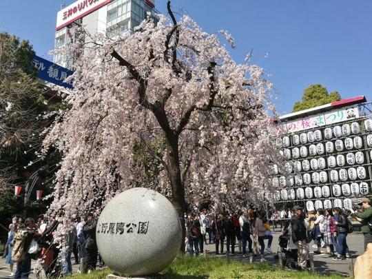 上野公園 しだれ桜