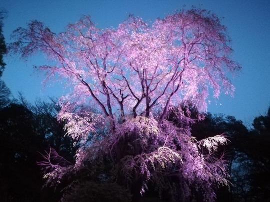 六義園第二のしだれ桜5