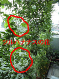 2009緑のカーテンツルハナナスの花