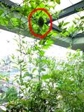 2009緑のカーテンゴーヤの実