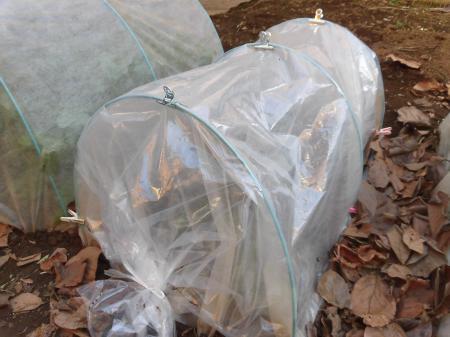 小松菜の畝防寒1228小