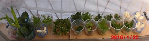 窓辺の再生野菜0125 600
