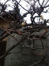 八坂庚申堂の梅3