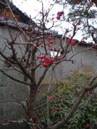 八坂庚申堂の梅2