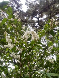 住吉大社卯の花