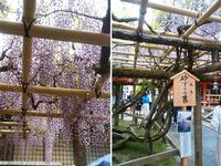 春日大社の藤