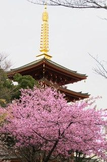 kawadusakura