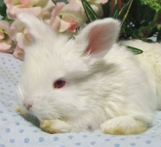 アンゴラウサギの画像 p1_9