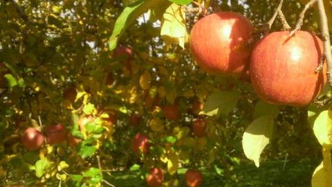 リンゴ収穫1