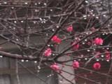庭の紅梅jpg