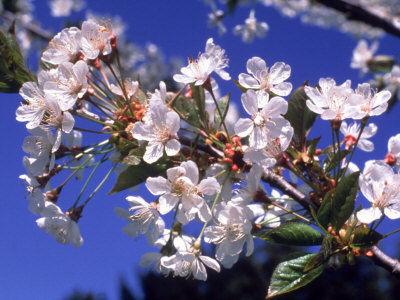 -cherry-blossom-branch