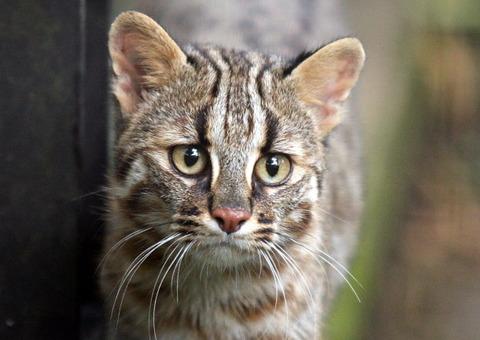 ツシマヤマネコ02_猫ねこch
