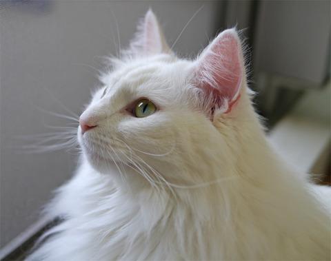 白猫38_猫ねこch
