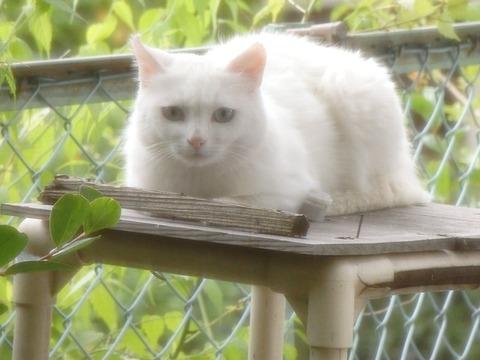 美猫_猫ねこch2