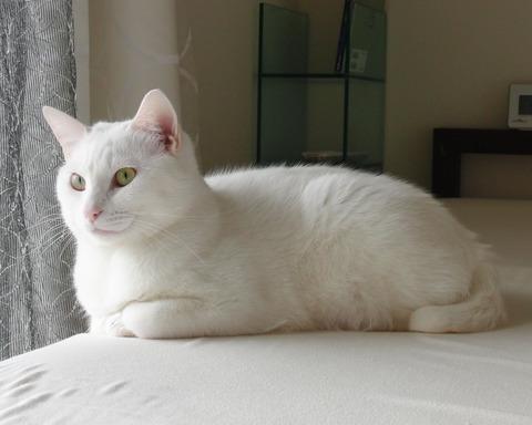 白猫_猫ねこch