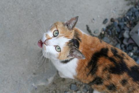 三毛猫_猫ねこch33