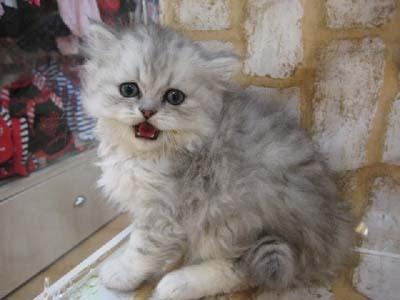 ペルシャ02_猫ねこch