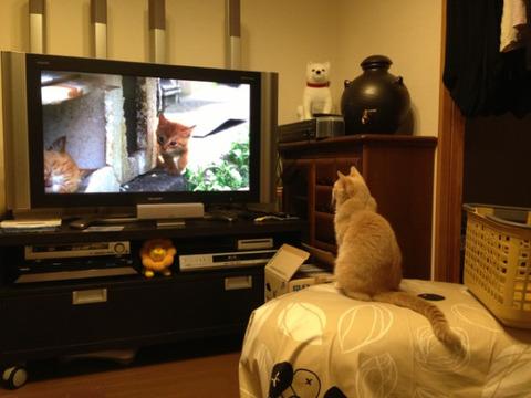 テレビ_反応_世界ネコ歩き_猫ねこch