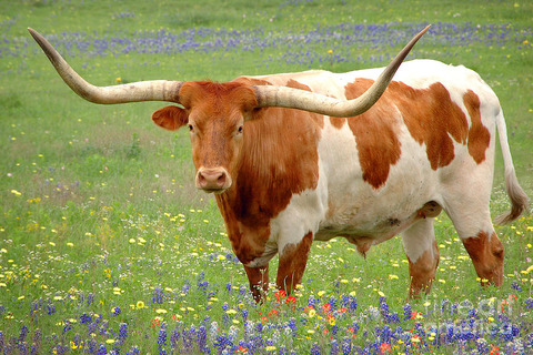 Treats_for_Texas_Longhorns