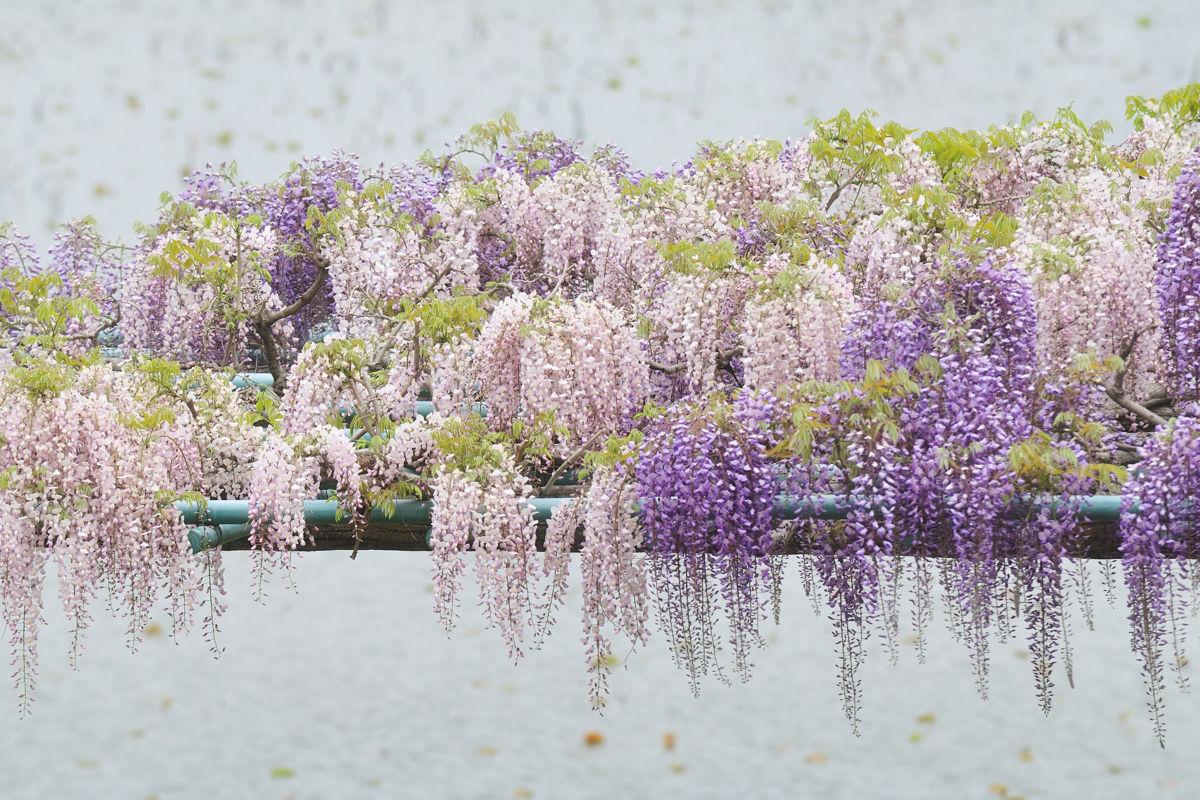みるログ。:藤の花(藤枝市・蓮華寺池公園)