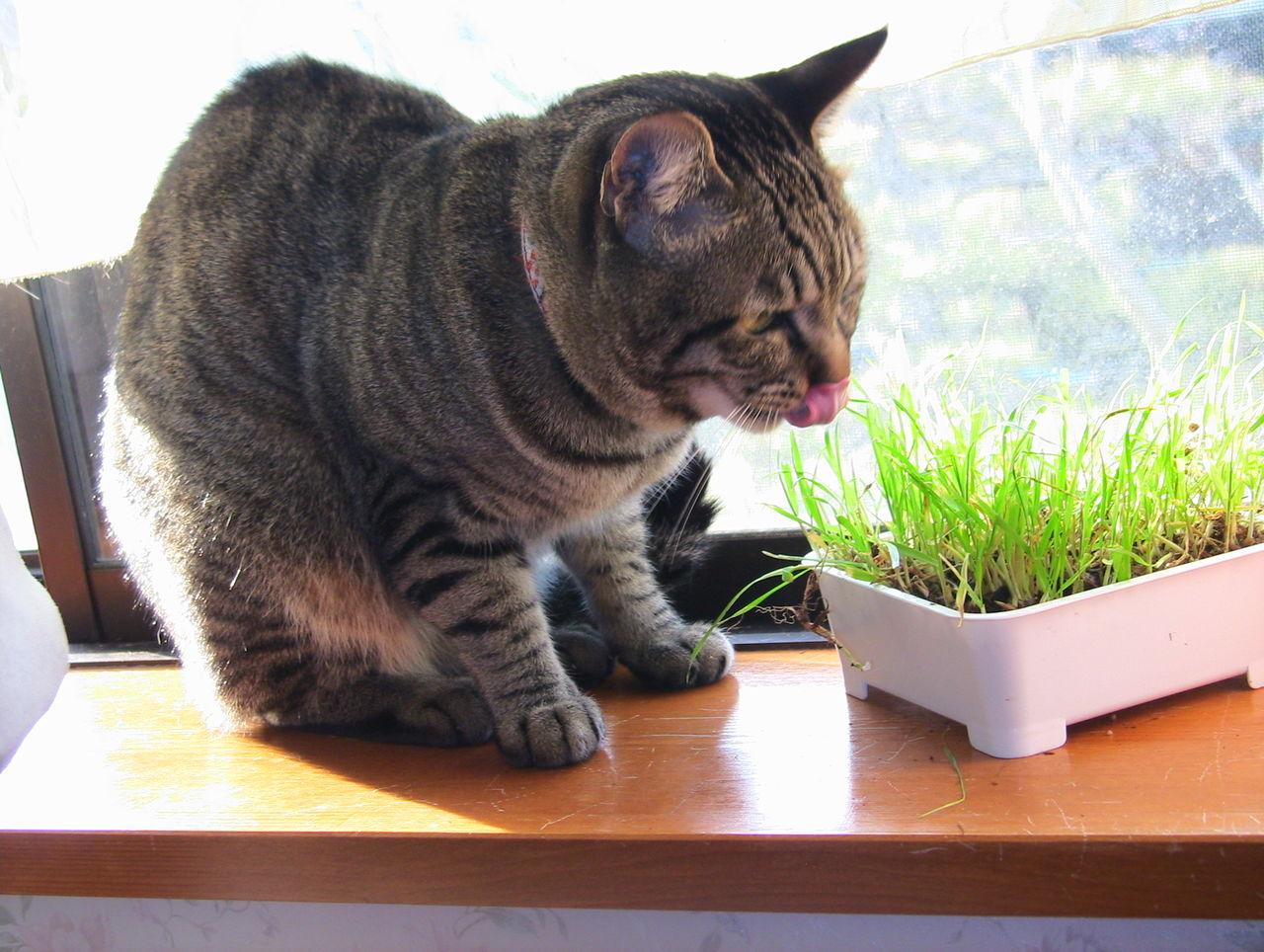 れんの猫草