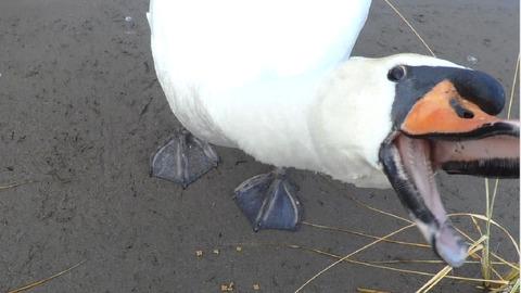 20160822-swan-01
