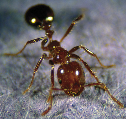 fireant