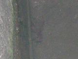 アメリカザリガニ (1)