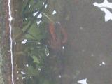アメリカザリガニ (3)