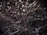 桜八分咲き