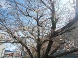 180324桜サク