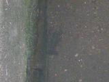 アメリカザリガニ (2)