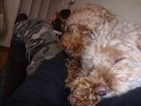 就眠中のレオとチャッピー