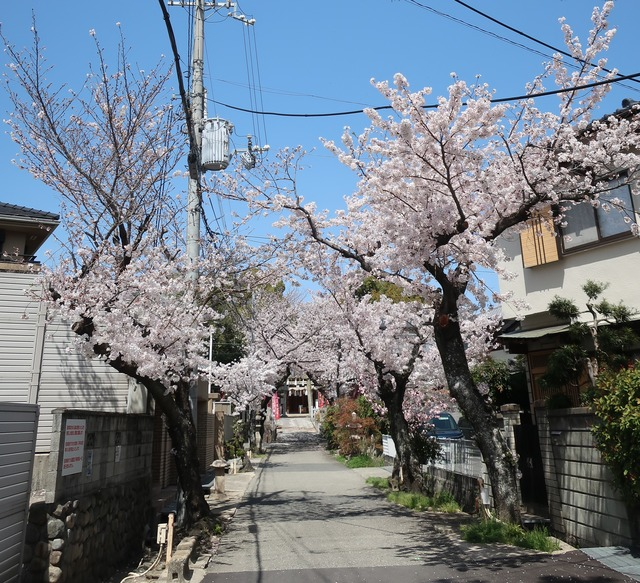 cherry-blossom-210331-5