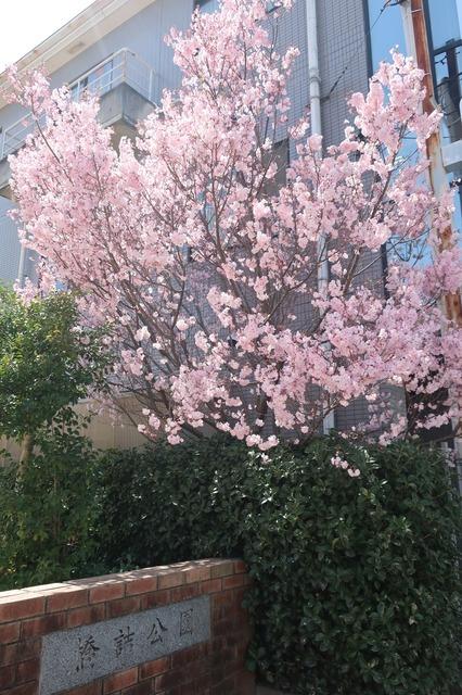cherry-blossom-210331-13a