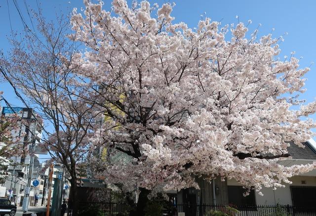 cherry-blossom-210331-12