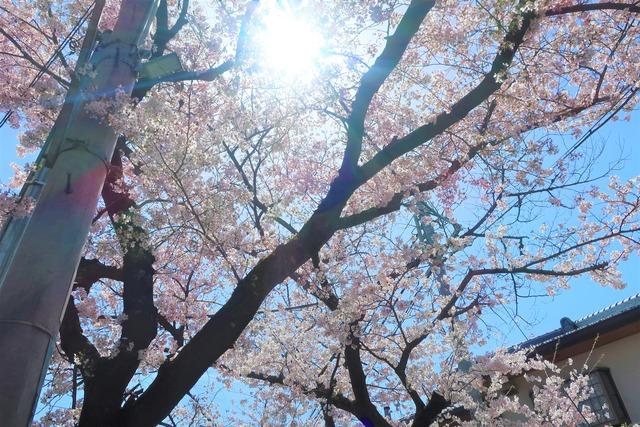cherry-blossom-210331-2