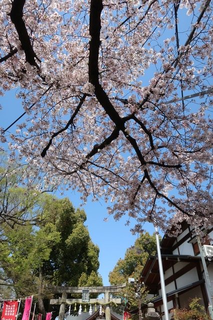 cherry-blossom-210331-3a